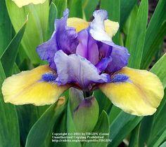 Iris 'What Again'