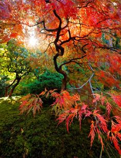 Japanese Maple tree  - reminds me of my friend @Katya Horner's work!
