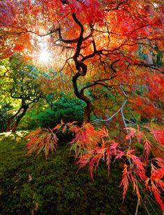 Japanese Maple tree  - reminds me of my friend @Katya Horner's work!