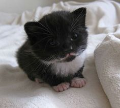 Adorable black & white Kitten with a mustache