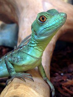 A young green basilisk at Northampton Reptile Centre