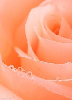 Fabulous peach rose by Fine Art Photography by Yana Bondareva.
