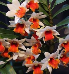 Orchid - Orange Lips - Dendrobium