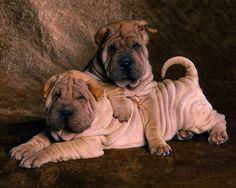 Shar Pei puppies.