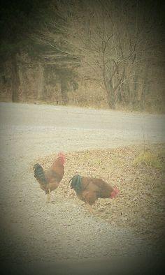 chickens :-)