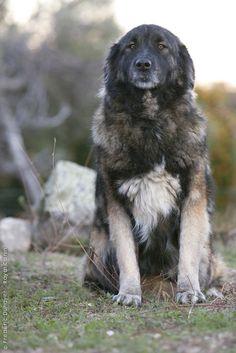 Estrela Mountain Dog / Portuguese Shepherd / Cão da Serra da Estrela  - by Cris Figueired♥
