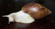 Achatina reticulata albino body Ócimum glencarex