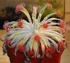Drosera Ordensis .. this is a rare carnivorous hybrid known as Woolly Sundew.