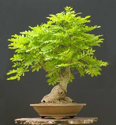 European common ash~ Bonsai tree - Check out a great selection of Bonsai tree tips and resources @ http://smddesigns.wix.com/bonsai-tree-mastery