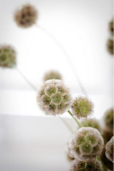 scabiosa pods - adds texture / that taupe color - would look cool slightly gold dusted Cut Flower Garden, My Flower, Wild Flowers, Beautiful Flowers, Flowers Pics, Unique Flowers, Beautiful Images, Wedding Bouquets, Wedding Flowers