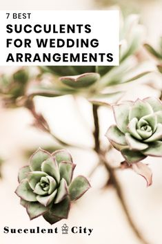 Succulents are all the rage today, and make beautiful alternatives to flowers for weddings. Here's our list of the best succulents for wedding arrangements! Purple Succulents, Succulents Diy, Planting Succulents, Succulent Plants, Succulent Bouquet, Succulent Arrangements, Wedding Arrangements, Fall Bouquets, Wedding Bouquets