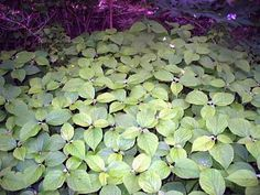 Wild Edible Plants - Nettles