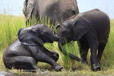 Elephants in Botswana Baby Elephant Video, Elephant Gif, Elephant Love, Save The Elephants, Baby Elephants, Giraffes, Elephant Pictures, Animal Pictures, Primates