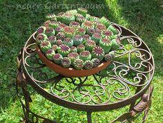 Mohnkapseln Beets, Poppy, Succulents, Ornaments, Garden, Plants, Diy, Autumn Decorations, Crown Cake
