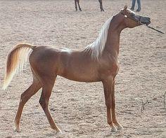 Pur Sang, Horse Riding, Cute Animals, Arabian Horses, Awesome, Dreams, Beauty, Animals, Pretty Animals