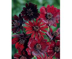 With a name like 'Black Magic,' you know there has to be something tempting about this plant. Burgundy to almost black velvety blooms emit an intoxica Gardening For Dummies, Gardening Tips, Organic Gardening, Creeping Phlox, Hibiscus Rosa Sinensis, Full Sun Perennials, Ice Plant, Gardening Zones, Heuchera