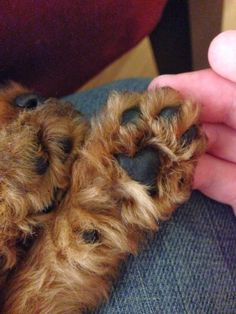 Welsh Terrier puppy paws | Supposedly Fun