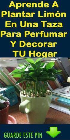 aprende a plantar limón en una taza para perfumar y decorar tu hogar. Hanging Succulents, Hanging Planters, Cactus, Diy Frame, Craft Party, Growing Plants, Horticulture, Houseplants, Compost