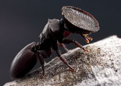"""""""Members of the genus Cephalotes are often called """"turtle"""" ants after the broad, flattened head shields of the soldier caste. The sole purpose of this strange adaptation is more or less that of a living cork, perfectly sealing off the entrance to the colony. Rather than constructing one of their own, these ants typically colonize the abandoned tunnels of wood-boring beetles, their plug-faces adapted to just the right size for just the right beetle burrows.     In addition to their highly…"""