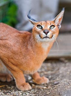 Caracal (by Tambako the Jaguar)