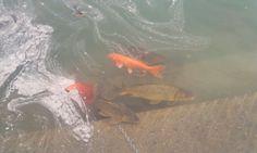 Golden Fish   its my walls