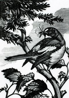 Peter Brown, Pied Flycatcher