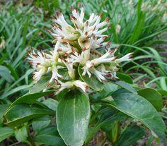Pachysandra terminalis dickmännchen pflanze blüten weiß braun garten