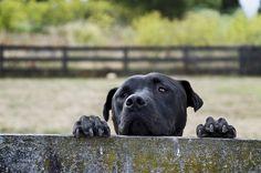Dog Rambo Looking Over Fence