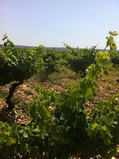 A vineyard in the Gigondas region, Provence region of France.