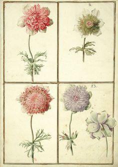 Karlsruher Tulpenbuch - Antique botanical tulips illustration.