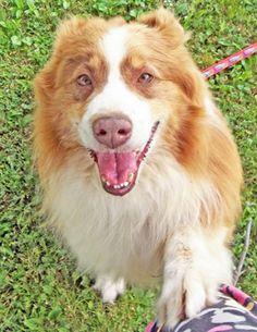 Meet Jeffrey a Petfinder adoptable Australian Shepherd Dog   Cincinnati, OH   Hello!  My name is Jeffrey, I am a wonderful and very smart Australian Shepherd.  I am a little...