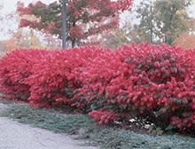 One of the Most Colorful Shrubs Ever Developed  -  Flame red is the best seller for fall color. The fiery autumn foliage of the Burning Bush makes it an excellent landscape plant… and it really draws attention when planted in rows. In summer, the cooling blue-green colored leaves are welcoming and lush.  Planted as a hedge, they can...