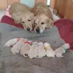 Golden Retriever Parents Watching Over Their Newborn Puppies Cute Funny Animals, Cute Baby Animals, Animals And Pets, Animals With Their Babies, Cute Animal Videos, Funny Animal Pictures, Newborn Puppies, Retriever Puppy, Golden Retriever Puppies
