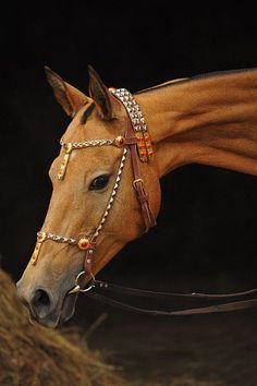 Melekyz -an Akhal Teke horse Most Beautiful Horses, Pretty Horses, Horse Love, Horse Halters, Horse Saddles, Horse Gear, Horse Tack, Akhal Teke Horses, Breyer Horses