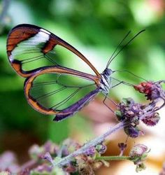 Transparent butterfly wings, absolutely breathtaking.  Nature | Inspiration | Katharine Kidd