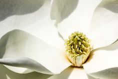 Magnolia. Photographer Sheila Reeves