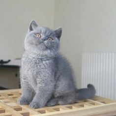 Cute Cats And Kittens, Kittens Cutest, British Blue Kitten, British Shorthair Kittens, Grey Cats, Here Kitty Kitty, Gaston, Grumpy Cat, Beautiful Cats