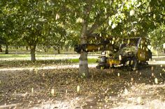 Die Walnüsse werden maschinell vom Baum geschüttelt. Ein Baum trägt ungefähr 4.000 Walnüsse!