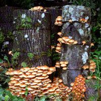 """Maximizing your """"Mycelial Mileage"""" How to use a spent indoor mushroom kit to inoculate stumps outdoors."""