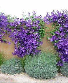 Clematis on wall