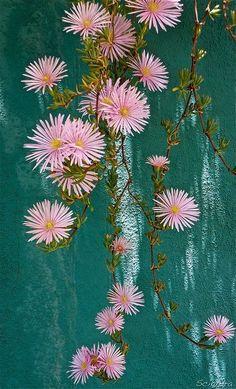 "wasbella102: "" Pink Cascade by Sciandra """
