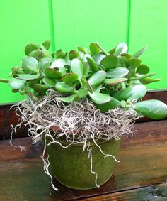 Succulent placed in a gold container - long lasting Plant Delivery, Plants, Planting Flowers, Plant Design, Colorful Flowers, Bloom, Blooming Plants, Succulents, Hanging Flowers