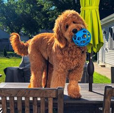 A Goldendoodle ready to play