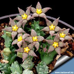 Piaranthus geminatus v. geminatus