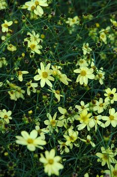 Moonbeam Tickseed is smothered in stunning buttery yellow daisy flowers with lemon yellow eyes at the ends of the stems from mid to late summer. The flowers are excellent for cutting. It's ferny leaves remain emerald green in color throughout the season. The fruit is not ornamentally significant.