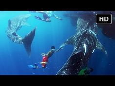 Swimming with Whale Sharks - Behind the Scenes of Journey to the South Pacific - IMAX® 3D Film - YouTube