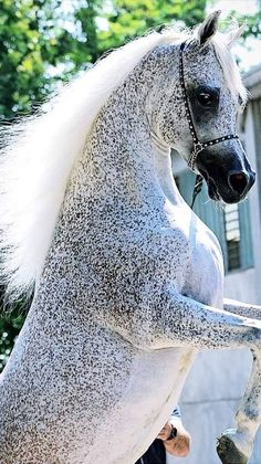 I just noticed this - note at how the Fleabites dont extend to the underside of the horse. animals silly animals animal mashups animal printables majestic animals animals and pets funny hilarious animal Beautiful Horse Pictures, Most Beautiful Horses, All The Pretty Horses, Animals Beautiful, Beautiful Beautiful, Rare Horses, Funny Horses, Wild Horses, Majestic Horse