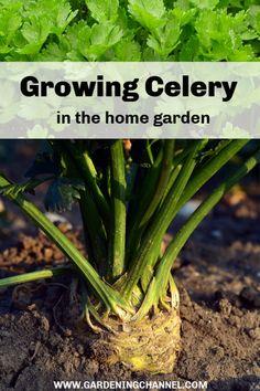 10 Best How to Grow CELERY images in 2019 | Garden plants