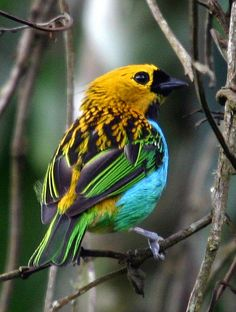 Saíra-douradinha (Gilt-edged Tanager) by Bertrando©, via Flickr