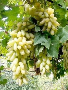 My favorite fruit grapes 🍇🍇🍇🍇 Fruits And Vegetables Pictures, Vegetable Pictures, Fruits Photos, Fruit Plants, Fruit Garden, Fruit Trees, Types Of Fruit, Fruit And Veg, Fresh Fruit
